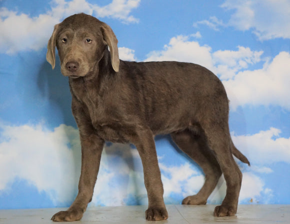 AKC Chocolate Labrador Retriever For Sale Sugarcreek, OH Female - Ruby
