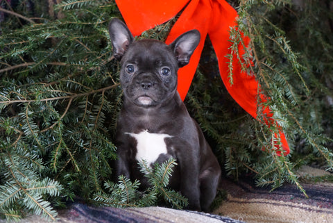 Frenchton Puppy For Sale Millersburg, OH Female- Blackie