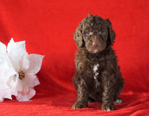AKC Registered Poodle (Standard) For Sale Homesville, OH Female - Stacey