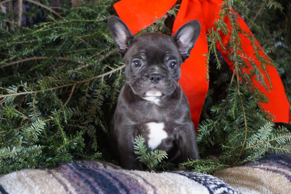 Frenchton Puppy For Sale Millersburg, OH Male- Chester