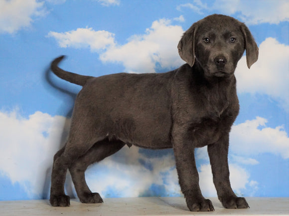 AKC Labrador Retriever -Charcoal- For Sale Sugarcreek, OH Male - Moose