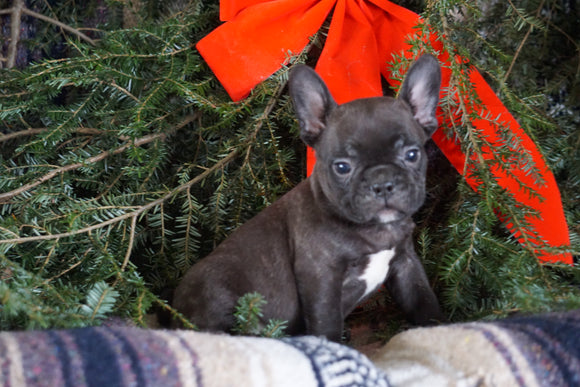 Frenchton Puppy For Sale Millersburg, OH Male- James