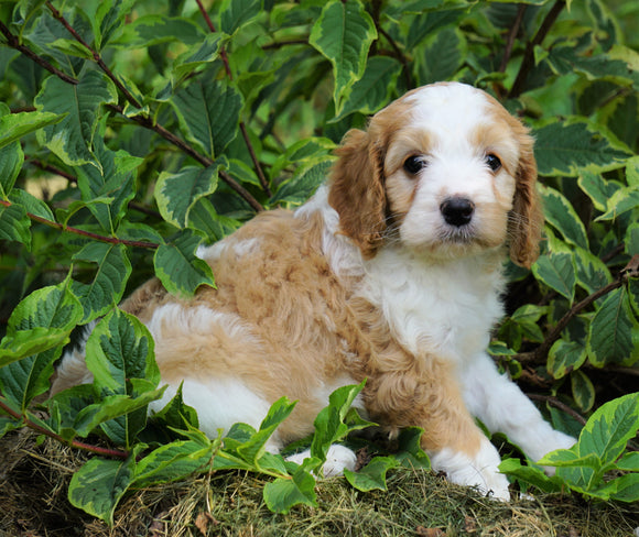 Medium F1B Goldendoodle For Sale Millersburg, OH Female- Kimberly