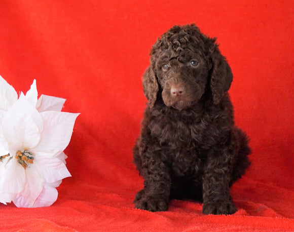 AKC Registered Poodle (Standard) For Sale Holmesville, OH Female - Jasmine