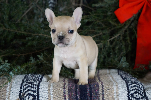 Frenchton Puppy For Sale Millersburg, OH Male- Bruce