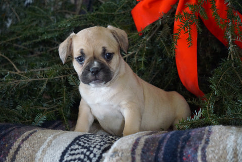 Frenchton Puppy For Sale Millersburg, OH Female- Sally