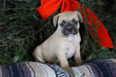 Frenchton Puppy For Sale Millersburg, OH Male- Russel