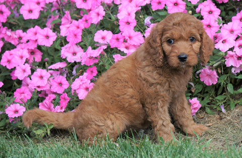 Medium F1B Goldendoodle For Sale Millersburg, OH Female- Kookie