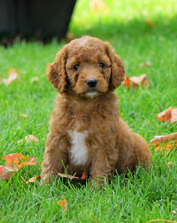 Medium F1B Goldendoodle For Sale Millersburg, OHFemale- Krissy