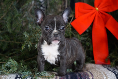 AKC Registered French Bulldog For Sale Millersburg, OH Female- Tiny