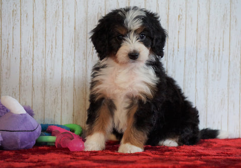 ICA Registered Mini Bernedoodle For Sale Fredericksburg, OH Female - Bella