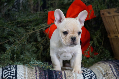 AKC Registered French Bulldog For Sale Millersburg, OH Male- Rufus