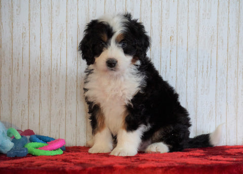 ICA Registered Mini Bernedoodle For Sale Fredericksburg, OH Male - Cooper