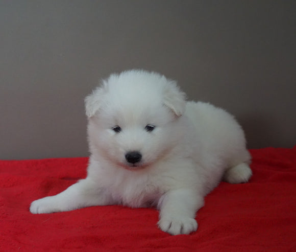 AKC Registered Samoyed Puppy For Sale Danville, OH Male- Frosty