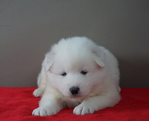AKC Registered Samoyed Puppy For Sale Danville, OH Female- Abby