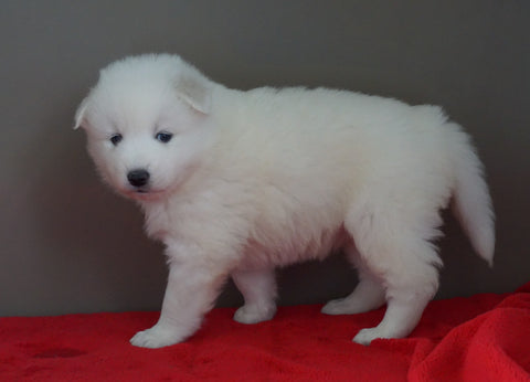 AKC Registered Samoyed Puppy For Sale Danville, OH Female- Dakota