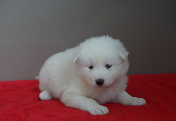 AKC Registered Samoyed Puppy For Sale Danville, OH Female- Lily