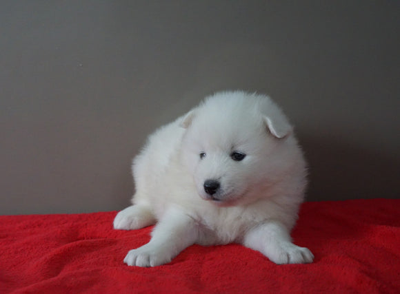 AKC Registered Samoyed Puppy For Sale Danville, OH Female- Dixie