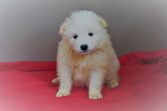 AKC Registered Samoyed Puppy For Sale Danville, OH Male- Simba