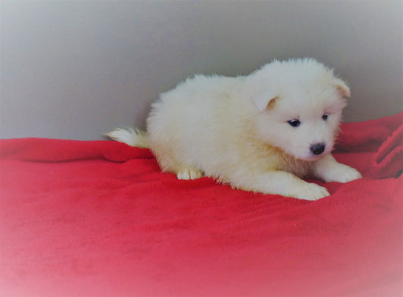AKC Registered Samoyed Puppy For Sale Danville, OH Female- Bella