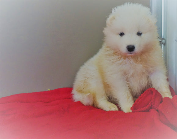 AKC Registered Samoyed Puppy For Sale Danville, OH Male- Bruno