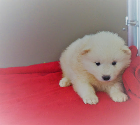 AKC Registered Samoyed Puppy For Sale Danville, OH Male - Teddy