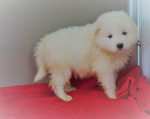 AKC Registered Samoyed Puppy For Sale Danville, OH Male - Winston
