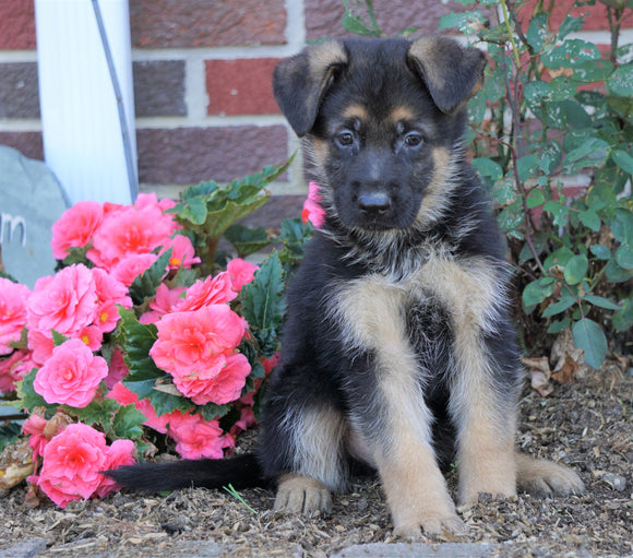 AKC Registered German Shepherd For Sale Baltic, OH Male- Oscar