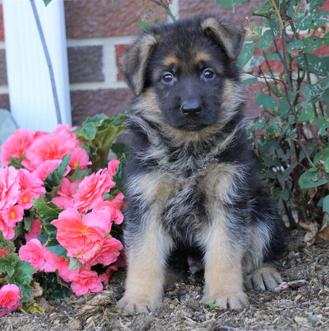 AKC Registered German Shepherd For Sale Baltic, OH Male- Trevor