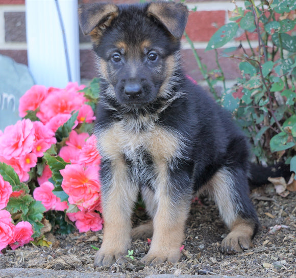 AKC Registered German Shepherd For Sale Baltic, OH Female- Lollipop