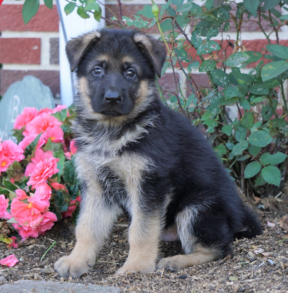 AKC Registered German Shepherd For Sale Baltic, OH Male- Gunner