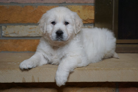 AKC English Cream Golden Retriever For Sale Fredericksburg, OH Male- Duke