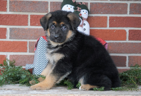 AKC Registered German Shepherd For Sale Baltic, OH Female - Samantha