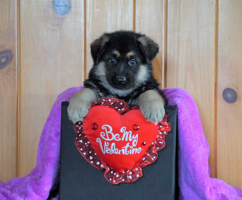 AKC Registered German Shepherd For Sale Baltic, OH Male - Milo