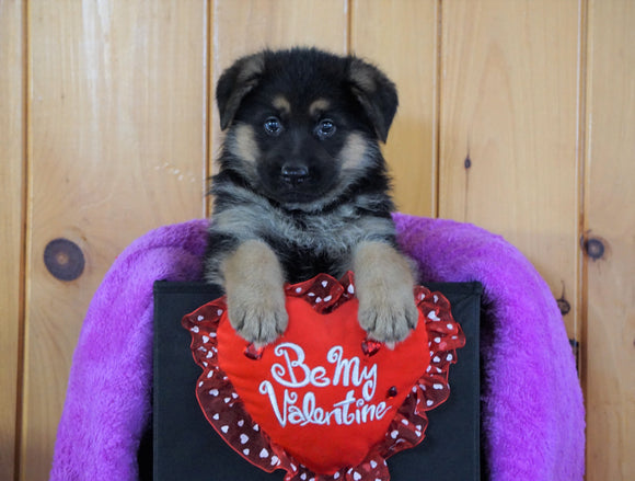 AKC Registered German Shepherd For Sale Baltic, OH Female - Kendra