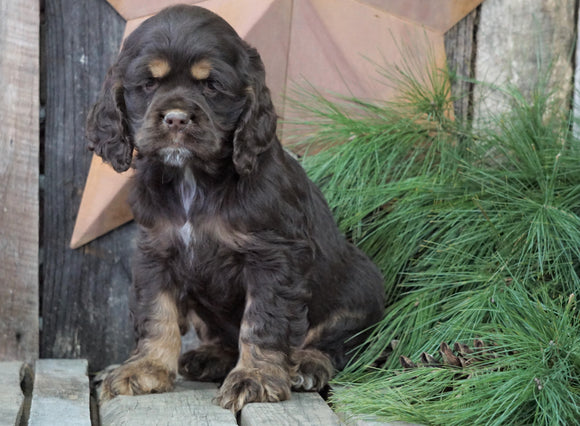 AKC Registered Cocker Spaniel For Sale Wooster, OH Male- Brownie
