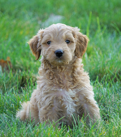 Mini Goldendoodle For Sale Loudenville, OH Male- Cody