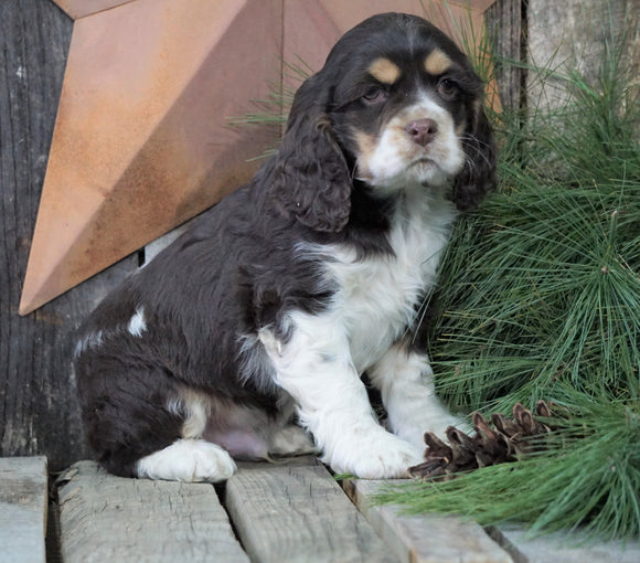 AKC Registered Cocker Spaniel For Sale Wooster, OH Male- Patches