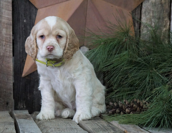 AKC Registered Cocker Spaniel For Sale Wooster, OH Female- Pearl