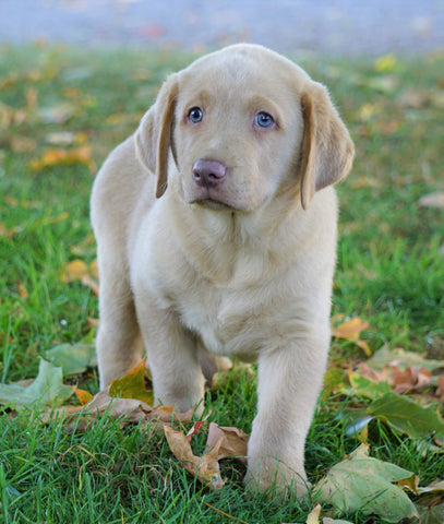 AKC Registered Labrador Retriever Four Sale Sugarcreek, OH Male-Amigo