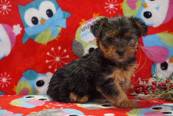 ACA Registered Yorkshire Terrier For Sale Wooster, OH Female- Bailey