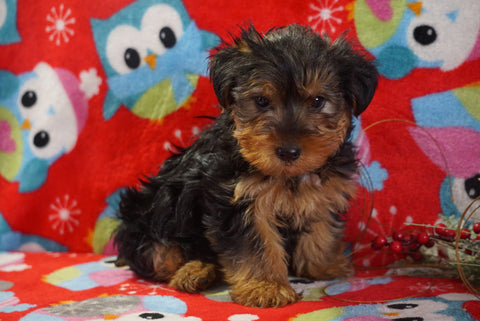 ACA Registered Yorkshire Terrier For Sale Wooster, OH Male- Bubba