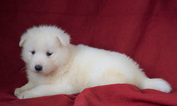 AKC Registered Samoyed For Sale Danville, OH Female- Mindy