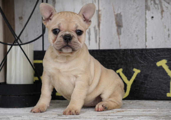 Frenchton For Sale Millersburg, OH Female - Lily