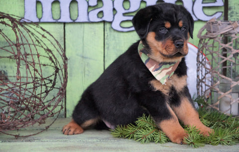 AKC Registered Rottweiler For Sale Sugarcreek, OH Male - Splash