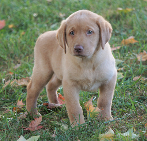 AKC Registered Labrador Retriever For Sale Sugarcreek, OH Male-Rocky