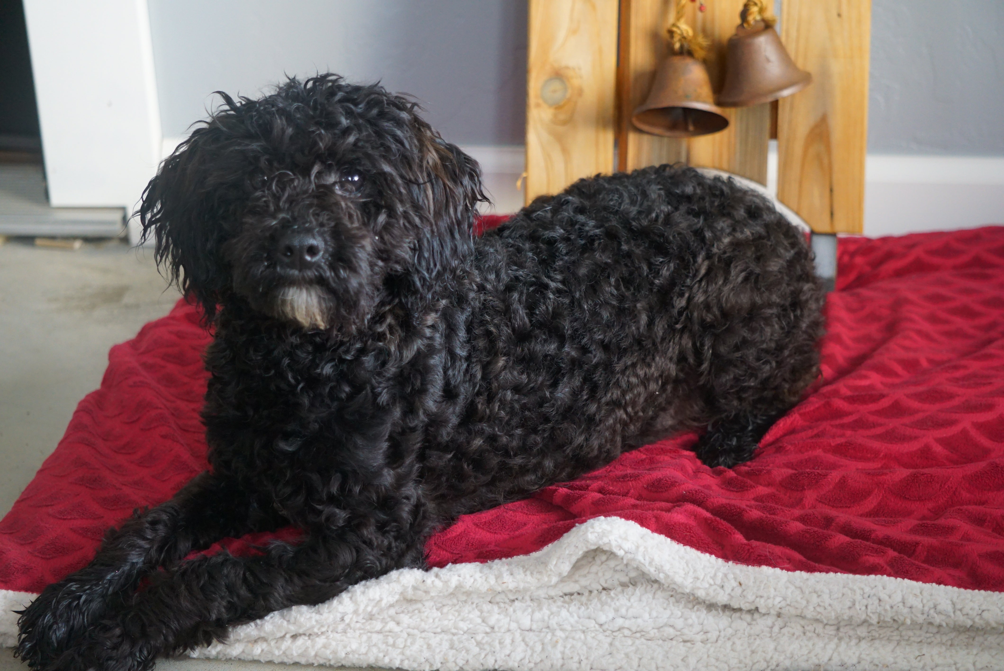 Akc Registered Miniature Poodle For Sale Sugarcreek Oh Male