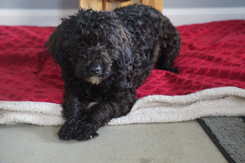 AKC Registered Miniature Poodle For Sale Sugarcreek, OH Male- Midnite