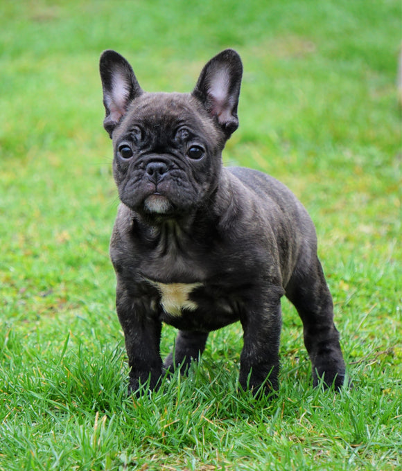 Frenchton For Sale Millersburg, OH Male - Dakota