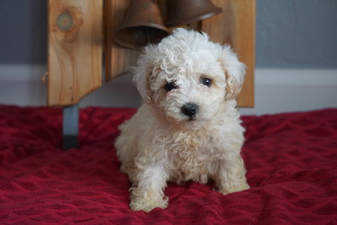 Toy Poodle For Sale Sugarcreek, OH Female- Lil' Miss Sunshine